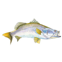 AFN Barramundi Sticker