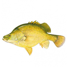 AFN Golden Perch Sticker