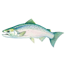 AFN Chinook Salmon USA Sticker