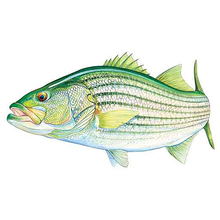 AFN Striped Bass USA Sticker